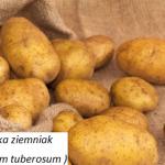 Jego wysokość ziemniak